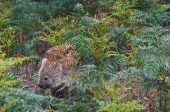 Free Common Wombat In The Tasmanian Scenery, Maria Island Near Tasmania. Royalty Free Stock Photo - 131985765