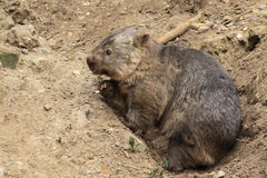 Common wombat Stock Image