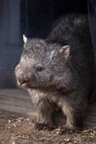 Common wombat (Vombatus ursinus). Stock Photography