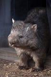 Common wombat (Vombatus ursinus). Wild life animal Stock Photography