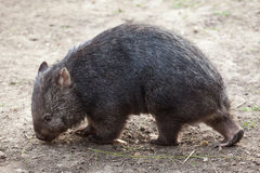 Common wombat (Vombatus ursinus). Royalty Free Stock Photography
