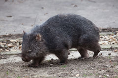 Common wombat (Vombatus ursinus). Royalty Free Stock Image