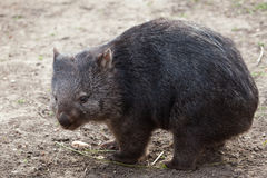 Common wombat (Vombatus ursinus). Royalty Free Stock Images