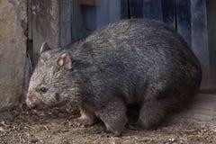 Common wombat (Vombatus ursinus). Royalty Free Stock Images