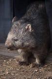 Common wombat (Vombatus ursinus). Stock Photo