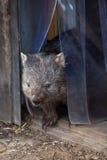 Common wombat (Vombatus ursinus). Stock Images