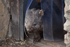 Common wombat (Vombatus ursinus). Royalty Free Stock Image