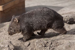 Common wombat Vombatus ursinus. Stock Photo