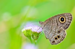 Common Wood Nymph. Close-up of a grey/brown patterned butterfly with large eye spots on its wings. Thailand Stock Photos