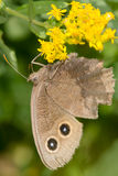 Common Wood-nymph Butterfly Stock Image
