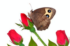Common Wood Nymph At Red Roses Royalty Free Stock Images