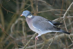 Common wood pigeon Royalty Free Stock Photo