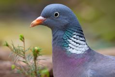 Common wood pigeon close head portrait with high quality plumage royalty free stock images
