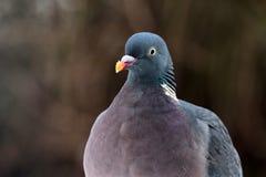 Common wood pigeon ( Columba palumbus ) Stock Photo