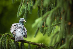 Common Wood Pigeon Royalty Free Stock Photography