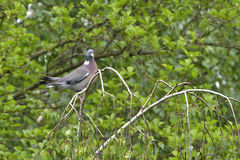 Common Wood Pigeon Stock Photo