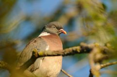Common Wood Pigeon (Columba Palumbus) Stock Images