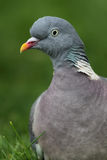 Common Wood Pigeon (Columba palumbus) Stock Images