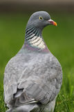 Common Wood Pigeon (Columba palumbus) Stock Photos