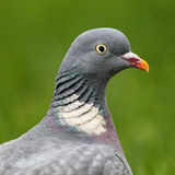 Common Wood Pigeon (Columba palumbus) Stock Photos