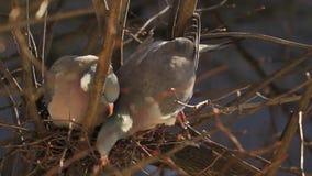 Common wood pigeon, Columba palumbus. stock video