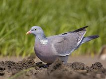 Common Wood-pigeon (Columba palumbus) Royalty Free Stock Images