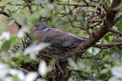 Common wood pigeon Stock Images