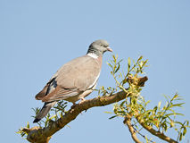 Common Wood Pigeon (Columba palumbus) Stock Photography