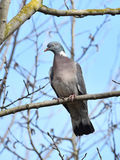Common Wood Pigeon (Columba palumbus) Stock Photo