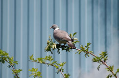 Common wood pigeon Royalty Free Stock Images