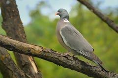 Common Wood-Pigeon - Columba palumbus Stock Photos