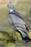Common Wood Pigeon (Culver) Royalty Free Stock Photos