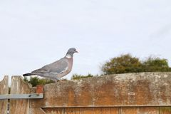 Wood pigeon on fence in garden. A common wood pigeon on fence in garden stock photography