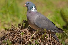 Common wood pigeon with flies resting on him. Common wood pigeon with flies on him sits on a fern mound stock image