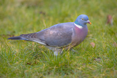 Common Wood Pigeon on a lawn Stock Photography