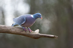 Common wood pigeon Royalty Free Stock Image