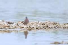 Common wood pigeon Stock Image