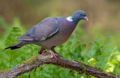 Common wood pigeon perched on old dry stick with moss and ferns around stock images
