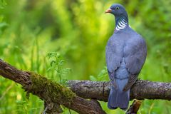Common wood pigeon sits straight on aged stick back view with head turn royalty free stock images
