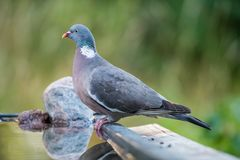 Common Wood Pigeon perching at the waterhole Royalty Free Stock Photos