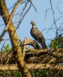 Common Wood Pigeon on Pine Tree Stock Photography