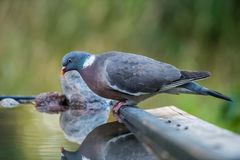 Common Wood Pigeon`s profile at the waterhole Stock Photos