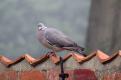 Common Wood Pigeon Royalty Free Stock Photos