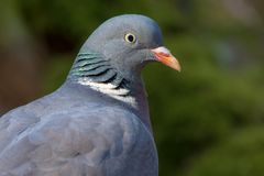 Common wood pigeon full head portrait with detailed face and eyes royalty free stock photos