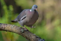 Common wood pigeon walks and balances himself on a stick with lifted leg stock photo