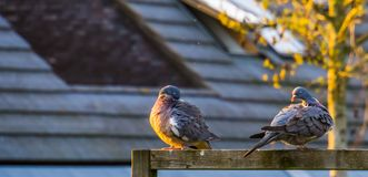 Common wood pigeons sitting together and preening their feathers, common birds in europe stock image