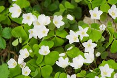 Common wood sorrel. The wood-sorrel (Oxalis acetosella) blooming Stock Images