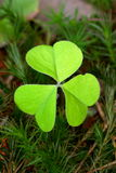 Common wood sorrel Royalty Free Stock Photo