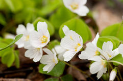 Common Wood-sorrel Royalty Free Stock Image