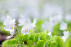Common Wood-sorrel. Common wood sorrel is a plant similar to clover. It has a beautiful, delicate little flowers Royalty Free Stock Photography